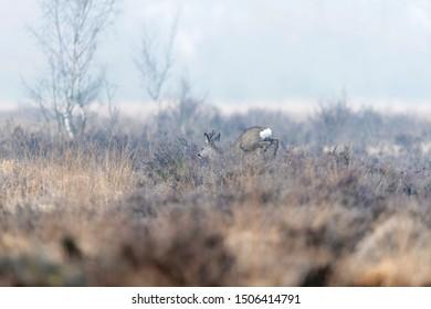 Roe deer buck leaps through misty moorland in winter.