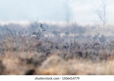 Roe deer buck in misty moorland in winter.