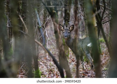 A roe deer buck pauses briefly and looks towards me before continuing through the leafless forest. Their thick winter coats keep them warm in winter.