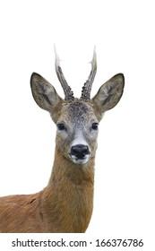 Roe deer buck portrait isolated on white