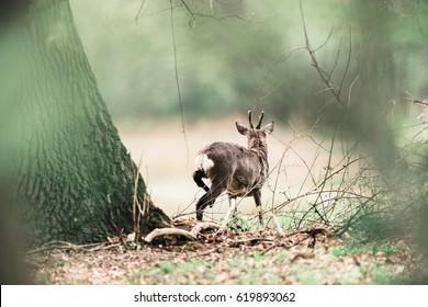 Roe deer buck scratching with back leg.
