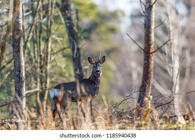 Roe deer buck standing and looking at the camera in the forest