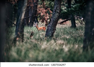 Roe deer buck standing in tall grass in forest.