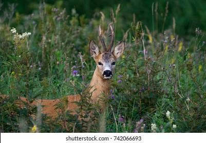 Roe deer buck in thick grass