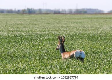 Roe Deer Buck in wheat field. Roe deer wildlife.
