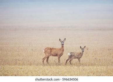 Roe deer (Capreolus capreolus) .