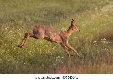 Roe deer (Capreolus capreolus).