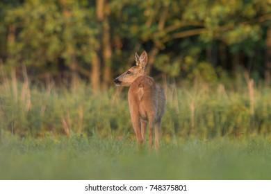 Roe deer - (Capreolus capreolus)