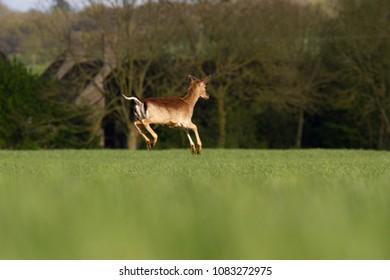 Roe Deer (Capreolus capreolus) bounding through summer farmland field, United Kingdom