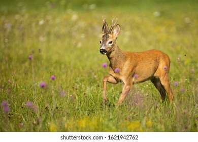 Roe deer, capreolus capreolus, buck approaching with leg in the air on a green grass with violet wildflowers. Wild ruminant running in summertime at dawn.