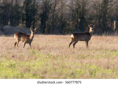 Roe deer (Capreolus capreolus) buck and doe in field. Small elegant deer in family Cervidae, male with growing antlers still covered in velvet fur