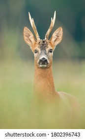 Roe deer, capreolus capreolus, buck looking to the camera on meadow from close up. Amazed mammal with antlers watching on field with blurred background in vertical composition.