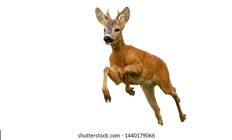 Roe deer, capreolus capreolus, buck running fast in summer isolated on white. Wild deer sprinting in nature cut out from background.