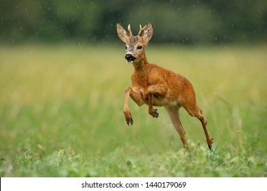 Roe deer, capreolus capreolus, buck running fast across green field in light summer rain with water drops falling around. Wild deer sprinting in nature. Dynamic wildlife scenery.