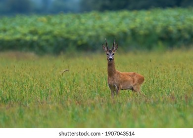 Roe deer, capreolus capreolus, buck standing on agricultural field with copy space. Mammal with antlers in summer looking in front of sunflowers from side view.