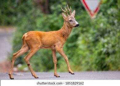Roe deer, capreolus capreolus, buck walking across road with street sign in background. Concept of conflict between vehicles and wild animals on highway.