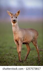 Roe deer, capreolus capreolus, doe walking on a field with mud on hooves.