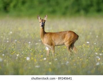 Roe Deer - Capreolus capreolus Doe in wildflower hay meadow