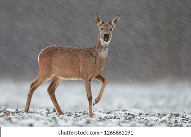 Roe deer, capreolus capreolus, doe in wintertime during a snowfall. Frosty winter wildlife scenery with wild mammal in nature. Deer in winter with snowflakes falling around.