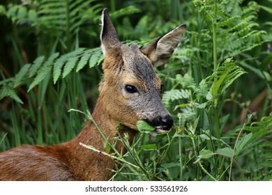 Roe Deer (Capreolus capreolus) eating leaves. Taken in Dumfries & Galloway, Scotland.