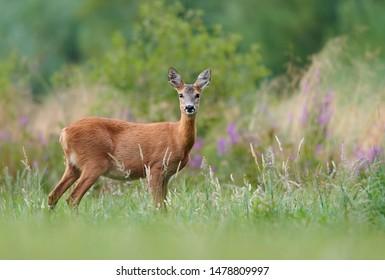 Roe deer (Capreolus capreolus) female