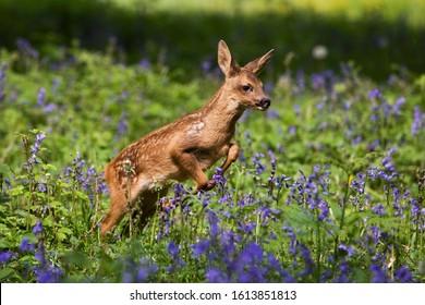 Roe Deer, capreolus capreolus, Foan Leaping throught Flowers, Normandy