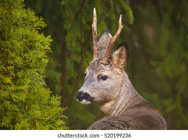 Roe deer (Capreolus capreolus) in the forest environment.