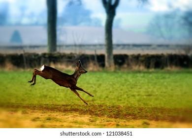 Roe Deer (Capreolus capreolus) in mid leap. Taken in Montreathmont Forest, Angus, Scotland.
