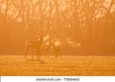 Roe deer, capreolus capreolus, morning backlight silhouette. Group of deer in winter during sunrise. Wild animals heavy breathing in orange coloured dawn.