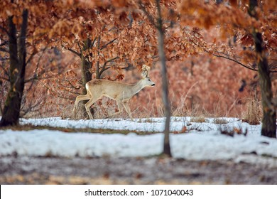 Roe deer (Capreolus capreolus) in an oak forest at the feeding spot