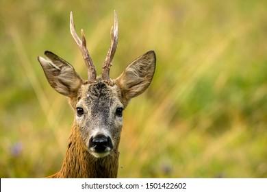Roe deer (Capreolus capreolus) on the meadow.
