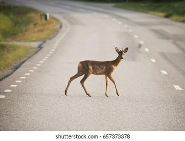 Roe deer (Capreolus capreolus) On the road.
