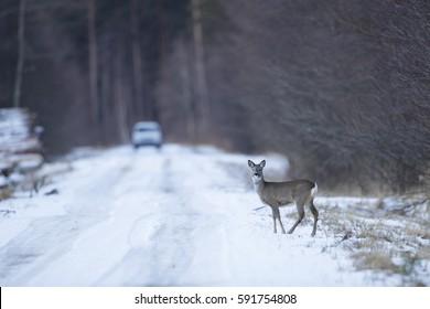 Roe deer (Capreolus capreolus) on the side of the road