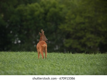Roe deer (Capreolus capreolus) Out on the field.