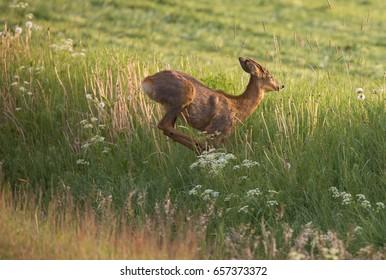 Roe deer (Capreolus capreolus) At the roadside.
