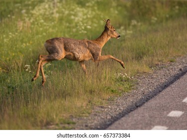 Roe deer (Capreolus capreolus). At the roadside.