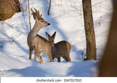 Roe deer (Capreolus capreolus) in the snow at the feeding spot in the forest