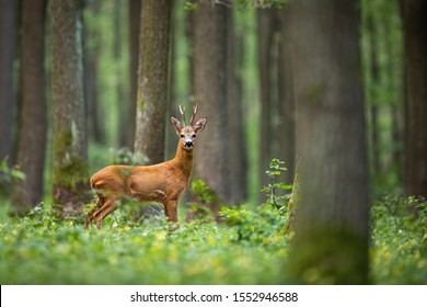 Roe deer, capreolus capreolus, standing in the middle of the woods with low green vegetation. A beautiful strong european buck during rutting season surrounded by the trees.