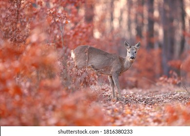 Roe deer, capreolus capreolus, standing in orange forest in autumn nature. Wild doe looking to the camera from colorful foliage. Female animal watching in woodland in fall with copy space.