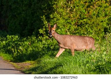 Roe Deer (Capreolus capreolus) walking through summer farmland field, United Kingdom