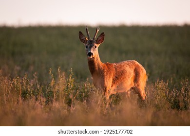 Roe deer ( Capreolus capreolus ) in warm summer light during sunset in wild nature.