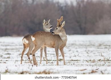 Roe deer Capreolus capreolus in winter. Roe deer buck with antlers covered in velvet. Wild animal male and female cute interaction.