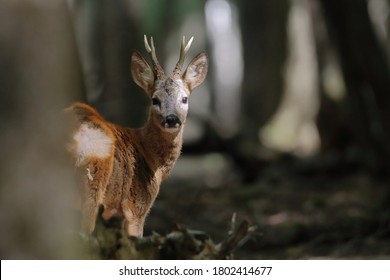 Roe deer in a closed forest