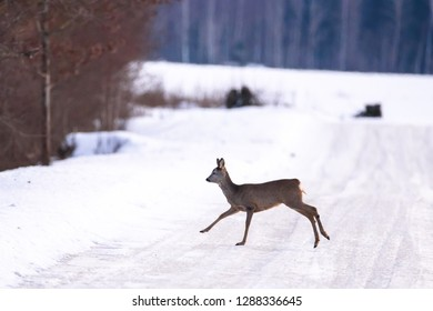 Roe deer crossing icy, slippery countryside road from snow covered field.