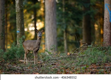 A roe deer doe in a forest at sunset.