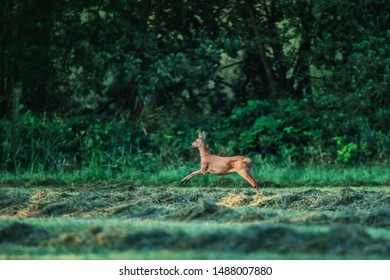 Roe deer doe leaping through meadow at edge of forest.