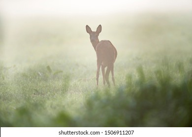 Roe deer doe in meadow on misty summer morning. Looking towards camera.
