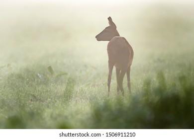 Roe deer doe in meadow on misty summer morning.