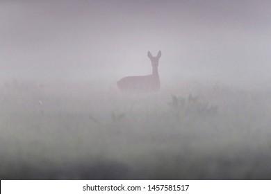 Roe deer doe in misty meadow.