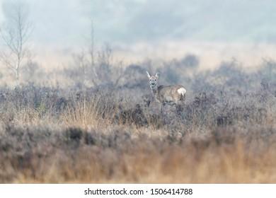 Roe deer doe in moorland in winter.